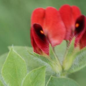 Photographie n°253058 du taxon Lotus purpureus E.H.L.Krause