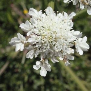 Oenanthe pimpinelloides L. (Oenanthe faux boucage)