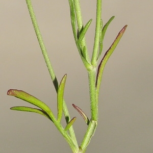 Photographie n°253084 du taxon Scabiosa columbaria L. [1753]