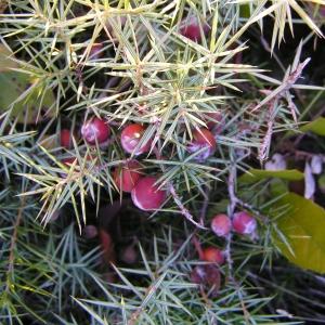 Juniperus oxycedrus L. subsp. oxycedrus (Cade)