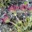 Liliane Roubaudi - Parentucellia latifolia (L.) Caruel