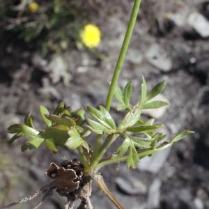 Photographie n°253215 du taxon Ranunculus gracilis