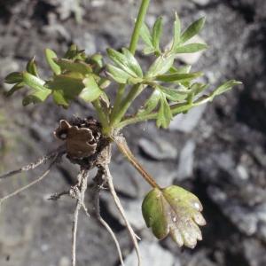 Photographie n°253216 du taxon Ranunculus gracilis