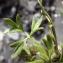Liliane Roubaudi - Ranunculus gracilis Schleich. [1815]