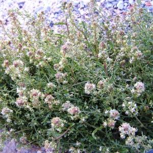Reseda jacquinii Rchb. var. jacquinii (Réséda de Jacquin)