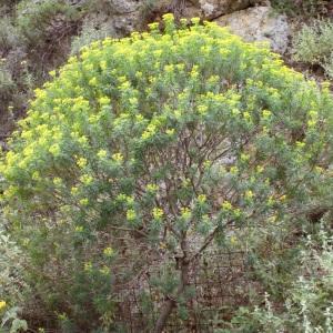 Photographie n°253399 du taxon Euphorbia dendroides L. [1753]