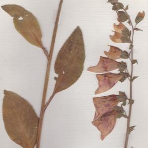 Photographie n°253485 du taxon Digitalis purpurea L.