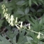 Fabienne PAIRE - Aconitum lycoctonum subsp. vulparia (Rchb.) Nyman [1889]