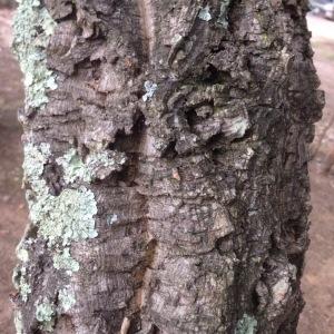 Photographie n°253852 du taxon Quercus suber L. [1753]