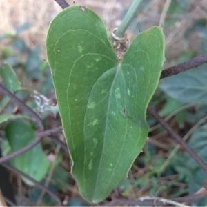 Photographie n°253854 du taxon Smilax aspera L. [1753]