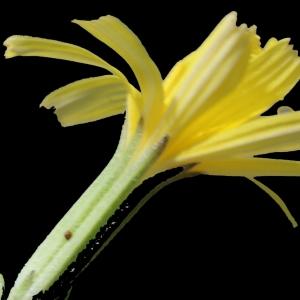 Photographie n°253870 du taxon Chondrilla juncea L. [1753]