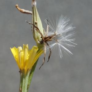 Photographie n°253876 du taxon Chondrilla juncea L. [1753]