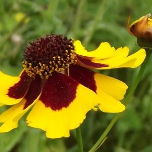 Coreopsis basalis (A.Dietr.) S.F.Blake (Coréopsis)