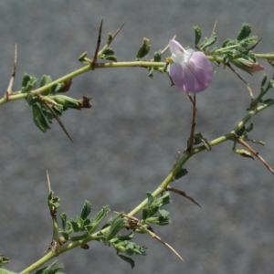 Photographie n°253909 du taxon Ononis spinosa L. [1753]