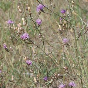 Photographie n°253936 du taxon Centaurea paniculata L. [1753]
