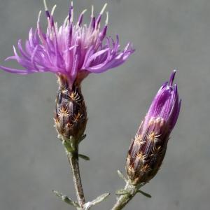 Photographie n°253937 du taxon Centaurea paniculata L. [1753]
