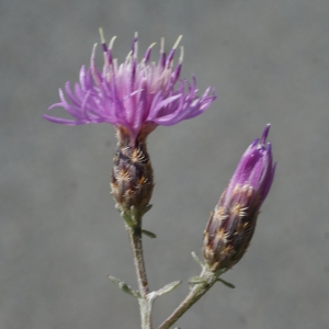 Photographie n°253938 du taxon Centaurea paniculata L. [1753]