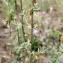 Liliane Roubaudi - Centaurea paniculata L.