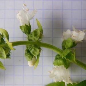 Photographie n°253996 du taxon Ocimum basilicum L. [1753]
