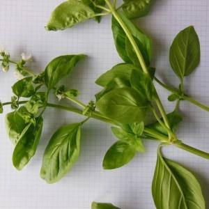 Photographie n°253997 du taxon Ocimum basilicum L. [1753]