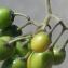 Liliane Roubaudi - Solanum dulcamara L. [1753]