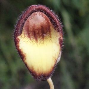 Photographie n°254128 du taxon Aristolochia sempervirens L. [1753]