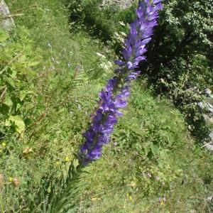Photographie n°254186 du taxon Campanula spicata L.