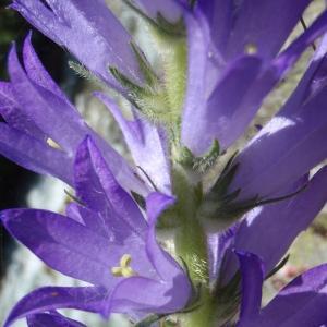 Campanula spicata L. [1753] (Campanule en épi)