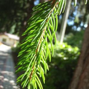 Cryptomeria japonica (L.f.) D.Don (Cèdre du Japon)
