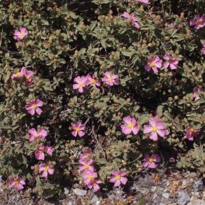 Photographie n°254510 du taxon Cistus creticus var. corsicus (Loisel.) Greuter [1967]