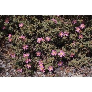 Cistus creticus var. corsicus (Loisel.) Greuter