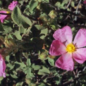 Photographie n°254511 du taxon Cistus creticus var. corsicus (Loisel.) Greuter [1967]