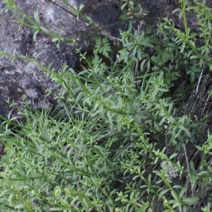 Photographie n°254517 du taxon Galium creticum Boiss. & Heldr. [1849]