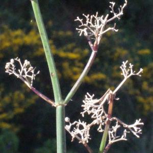 Photographie n°254522 du taxon Galium creticum Boiss. & Heldr. [1849]