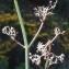 Liliane Roubaudi - Galium creticum Boiss. & Heldr. [1849]
