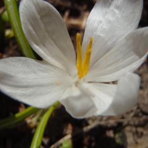 Crocus vernus (L.) Hill [1765] (Crocus à fleurs blanches)