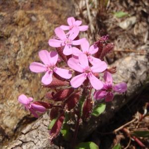 Photographie n°254715 du taxon Saponaria ocymoides L.