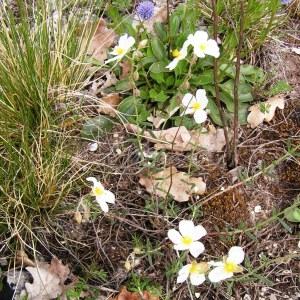 Photographie n°254867 du taxon Helianthemum apenninum subsp. apenninum