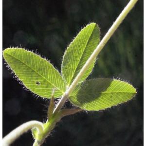 Trifolium grandiflorum Schreb. [1767]