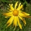 Ans Gorter - Arnica montana L.