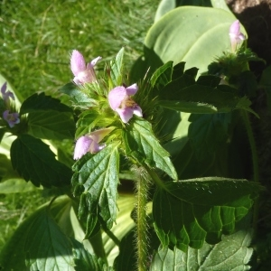 Photographie n°255180 du taxon Galeopsis tetrahit L.