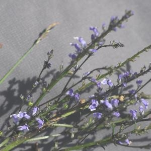 Photographie n°255183 du taxon Anarrhinum bellidifolium (L.) Willd. [1800]