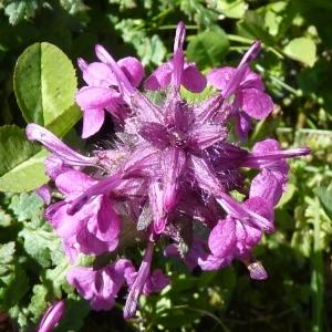 Pedicularis verticillata L. (Pédiculaire verticillée)