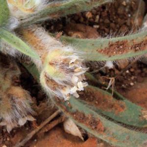Photographie n°255357 du taxon Plantago L. [1753]