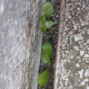 Photographie n°255376 du taxon Pâquerette vivace