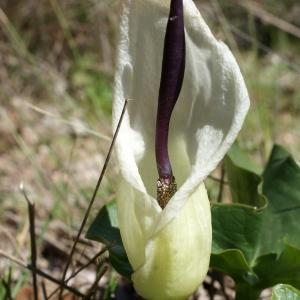 Arum maculatum L. (Arum tacheté)