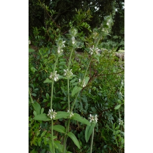Stachys germanica subsp. lusitanica (Hoffmanns. & Link) Cout.