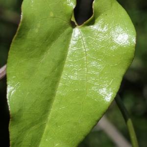 Aristolochia sempervirens L. (Aristoloche élevée)