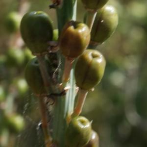 Photographie n°255524 du taxon Asphodelus microcarpus Viv. [1824]