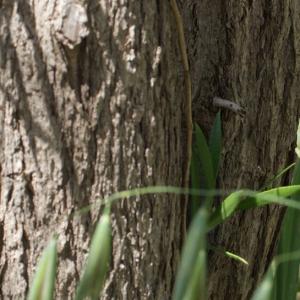 Photographie n°255535 du taxon Callistemon citrinus (Curtis) Skeels